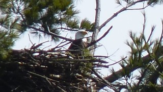 There may be no thrill in nature greater than seeing a mature bald eagle! (Warner Shedd photo)