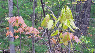 Keep your eyes open for the fleeting color display of new leaves. (Tim Jones photo)
