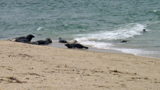 These beach bums (grey seals) were hanging out at the end of Great Point on a perfect nantucket summer day. (Tim Jones photo)