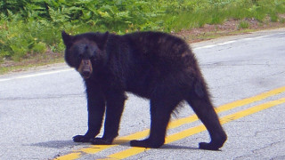 "Dead Bear Walking: This yearling black bear shows no fear of cars or people and was photographed near a roadside campground. It's only a matter of time before he becomes a ""nuisance"" and has to be destroyed."